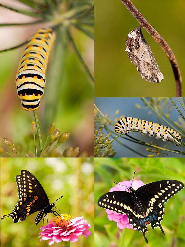 Collage of Black Swallowtail metamorphosis from chrysalis to cat